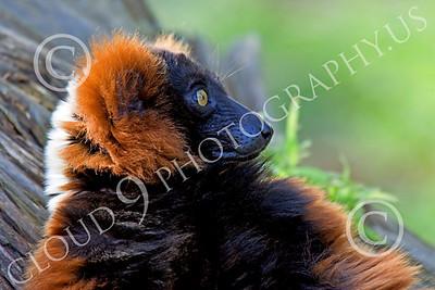 Lemur 00054 A relaxed ruffed lemur, by Peter J Mancus