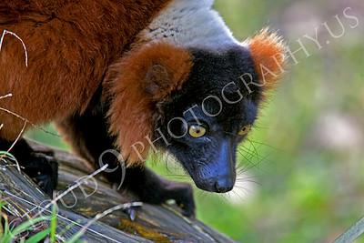 Lemur 00021 Red ruffed lemur by Peter J Mancus