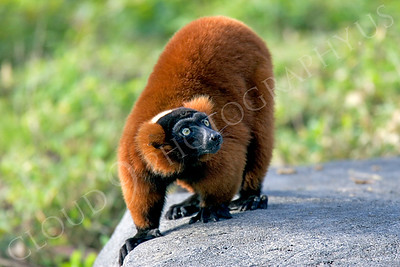 Lemur 00018 Red ruffed lemur by Peter J Mancus