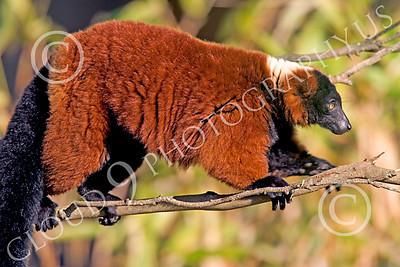 Lemur 00044 Ruffed lemur walks out on a limb, by Peter J Mancus