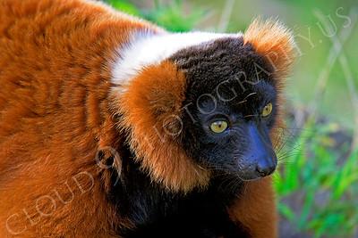 Lemur 00025 Red ruffed lemur by Peter J Mancus