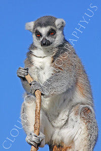 Lemur 00035 White-fronted brown lemur by Peter J Mancus