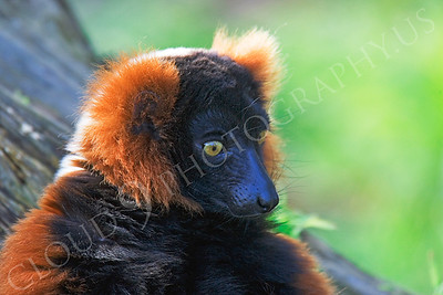 Lemur 00023 Red ruffed lemur by Peter J Mancus