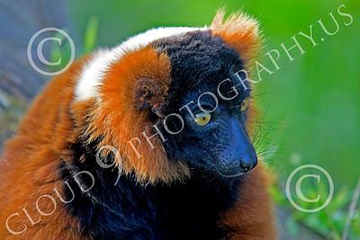 Lemur 00061 Ruffed lemur, by Peter J Mancus