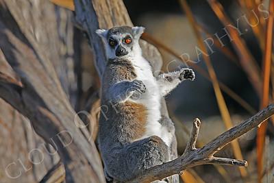 Lemur 00028 White-fronted brown lemur by Peter J Mancus