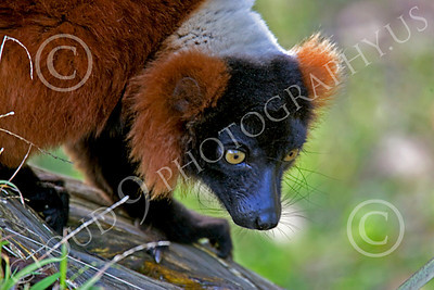 Lemur 00036 Ruffed lemur, by Peter J Mancus