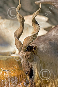 Markhor 00003 An adult male markhor animal picture by Peter J Mancus