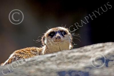 Meerkat 00006 A meerkat on a rock, by Peter J Mancus