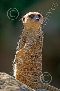 Meerkat 00007 A meerkat on a rock, by Peter J Mancus