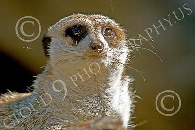 Meerkat 00030 Close up of a meerkat, by Peter J Mancus