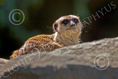 Meerkat 00024 A meerkat on a rock, by Peter J Mancus