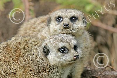 Meerkat 00004 A pair of meerkats, by Peter J Mancus