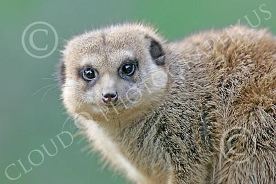 Meerkat 00022 A meerkat looks down, by Peter J Mancus