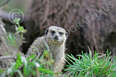 Meerkat 00012 An alert meerkat, by Peter J Mancus
