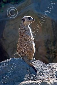 Meerkat 00027 A meerkat on a rock, by Peter J Mancus