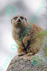 Meerkat 00001 A meerkat stands on a rock, by Peter J Mancus