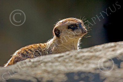Meerkat 00018 A meerkat on a rock, by Peter J Mancus