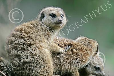 Meerkat 00010 Three meerkats, by Peter J Mancus