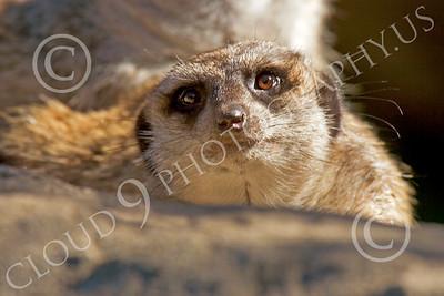 Meerkat 00032 A meerkat looks up, by Peter J Mancus
