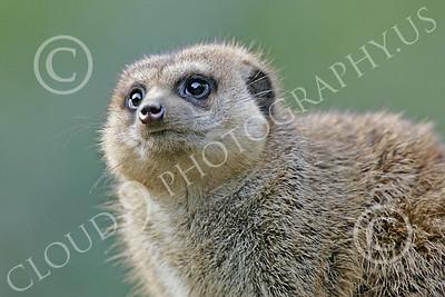 Meerkat 00028 A meerkat, by Peter J Mancus