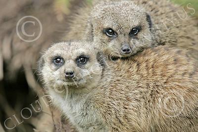 Meerkat 00020 A pair of meerkats, by Peter J Mancus