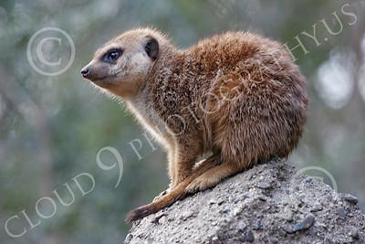 Meerkat 00008 A meerkat on a rock, by Peter J Mancus