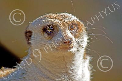Meerkat 00050 An alert meerkat, by Peter J Mancus