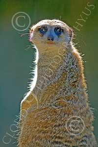 Meerkat 00003 A standing, back-lit, meerkat, by Peter J Mancus