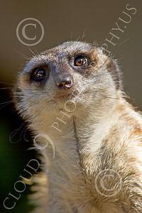 Meerkat 00013 An alert meerkat, by Peter J Mancus