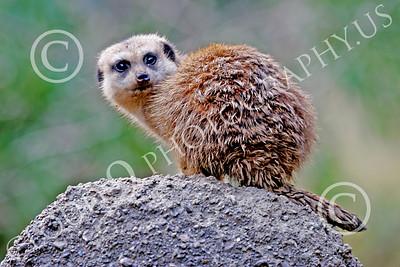 Meerkat 00002 A meerkat on a rock, by Peter J Mancus