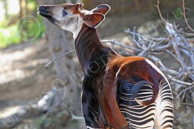 Okapi 00002 A standing mature okapi, by Peter J Mancus