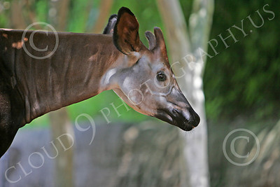 Okapi 00001 An adult okapi, by Peter J Mancus