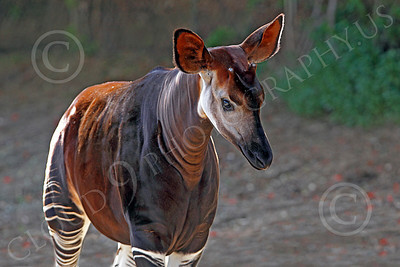 Okapi 00003 A walking mature okapi, by Peter J Mancus