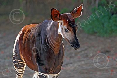 Okapi 00003 A walking mature okapi, by Peter J Mancus
