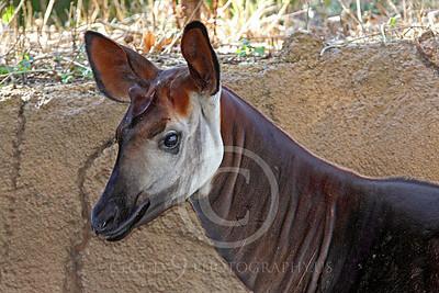 Okapi 00004 Close up of a mature okapi, by Peter J Mancus