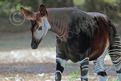Okapi 0000 A walking mature okapi, by Peter J Mancus