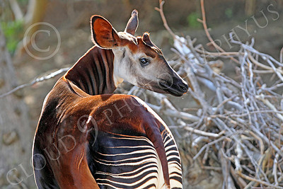 Okapi 00016 A standing mature okapi looks to its right, by Peter J Mancus