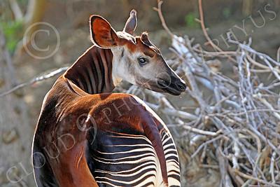 Okapi 00016 A standing mature okapi looks to its right, by Peter J Mancus