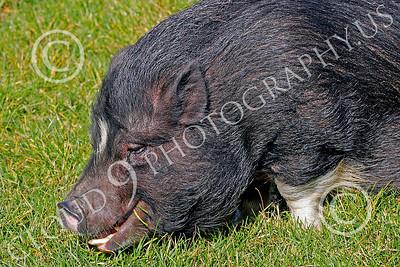 Pot Belly Pig 00004 Pot belly pig, by Peter J Mancus