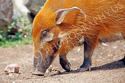 Red River Hog 00002 by Peter J Mancus
