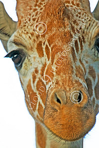 Reticulated Giraffe 00011 Close up portrait of a reticulated giraffe, by Peter J Mancus