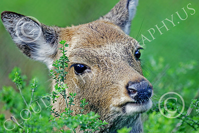 Sika Deer 00004 Close up portrait of a juvenile sika deer in cover, by Peter J Mancus