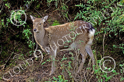Sika Deer 00002 An adult sika deer stands in cover, by Peter J Mancus