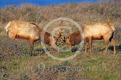 Thule elk 00005 Two bull Thule elk in combat, by Peter J Mancus