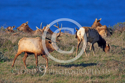 Thule elk 00009 A bull Thule elk walks among its heard, by Peter J Mancus