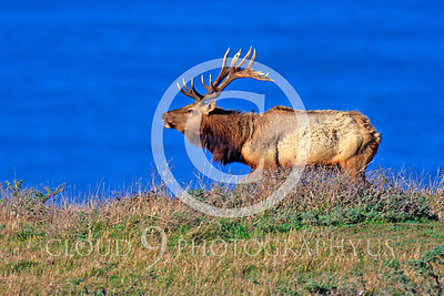 Thule elk 00008 A bull Thule elk bugles before the Pacific Ocean, by Peter J Mancus