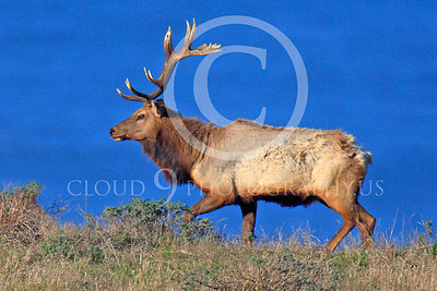 Thule elk 00026 A bull Thule elk walks a ridge with the Pacific Ocean in the background, by Peter J Mancus
