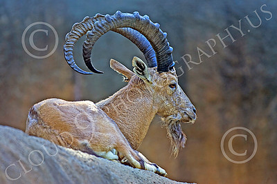 West Caucasiain Tur 00001 An adult west caucasian tur at rest high on a slope animal picture by Peter J Mancus