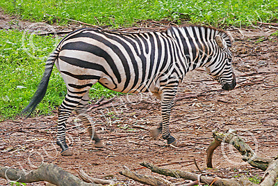 Zebra 00008 A walking zebra by Peter J Mancus