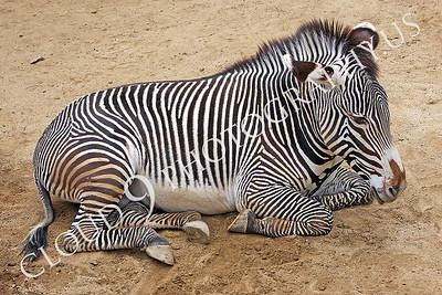 AN-Zebra 00011 Zebra by Peter J Mancus